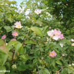 Newton Grove CL Dog roses South Newington