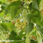 Newton Grove CL Lime Tree South Newington