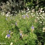 Newton Grove CL Wild Flower area 1 South Newington