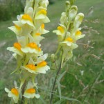 Newton Grove CL Common toadflax South Newington