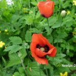 Field Poppy and Celandine