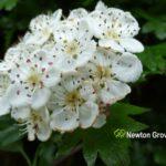 Hawthorn Flower White
