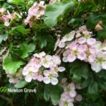 Hawthorn Flower Pink
